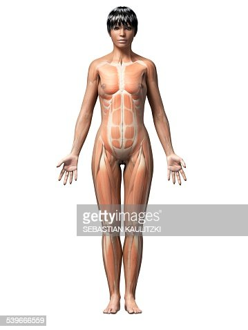 female muscular system artwork stock illustration | getty images, Muscles