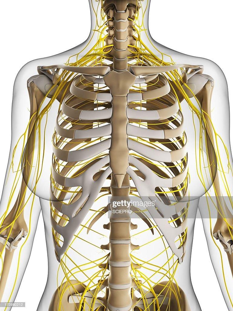 Female nervous system artwork stock illustration getty images female nervous system artwork stock illustration ccuart Images