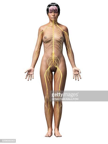 Female nervous system, illustration
