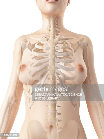 Female Skeletal System Illustration Stock Illustration | Getty Images