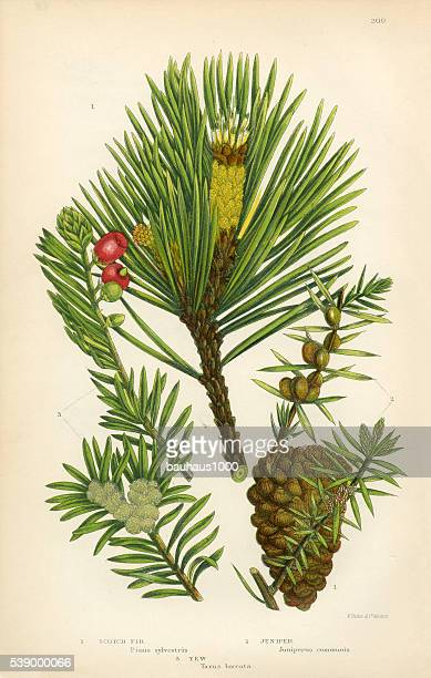 Fir, Scotch Fir, Pine, Juniper, Scotch Pine, Victorian Botanical Illustration