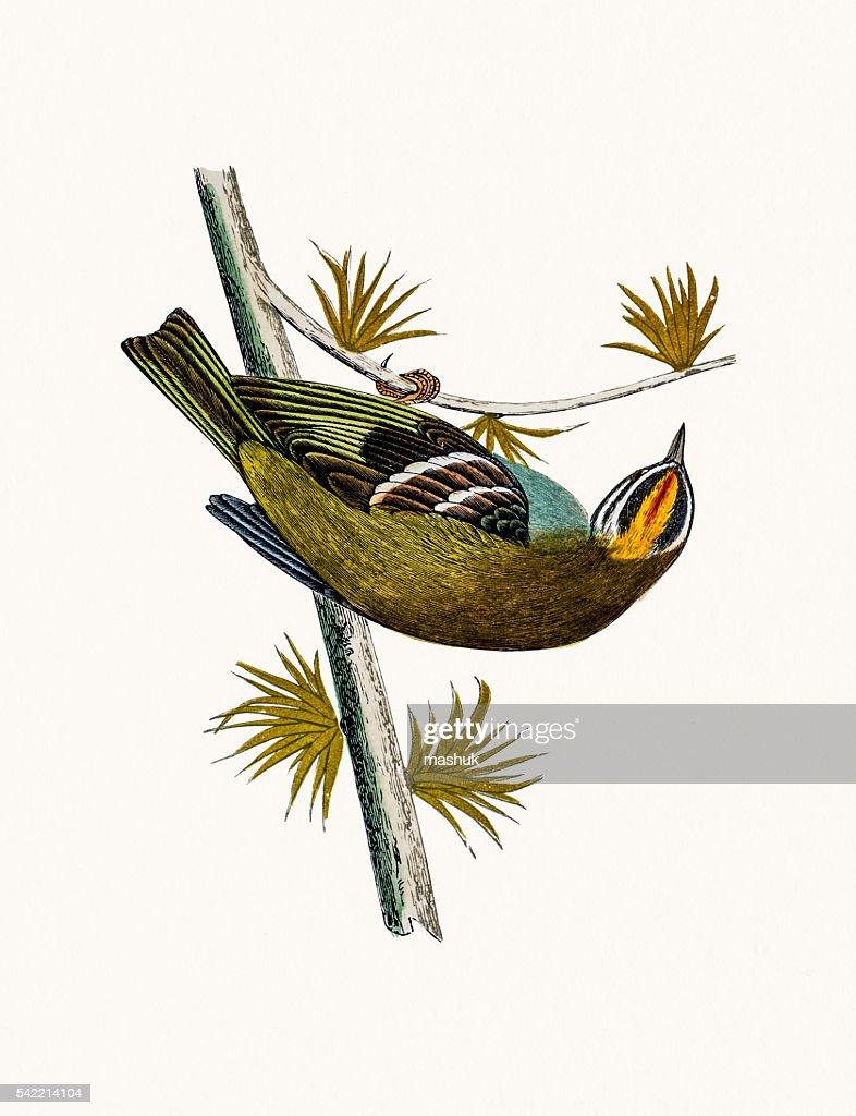 Firecrest Bird Stock Illustration