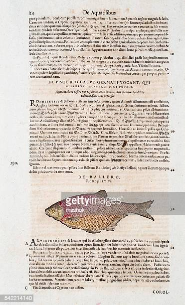 Fish illustration from 1554