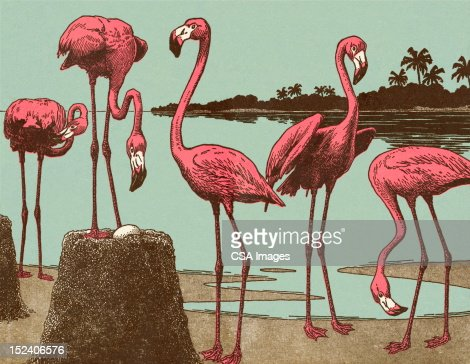 Flamingos : Stock Illustration