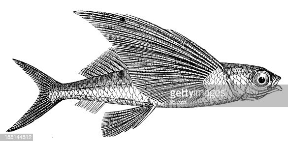 flying fish stock illustration getty images
