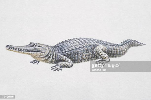 Freshwater Australian crocodile (Crocodylus johnstoni), also known as Johnstone's Crocodile