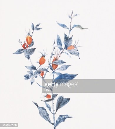 Gardenia fruit : Stock Illustration