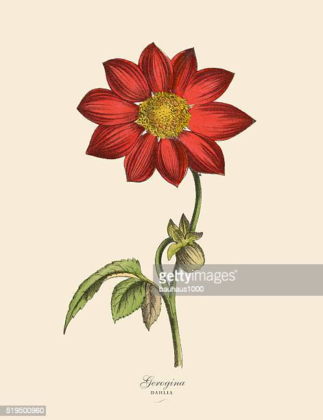 Dahlia Stock Illustrations And Cartoons | Getty Images