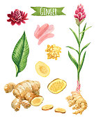 Ginger, hand-painted watercolor set, vector clipping paths included