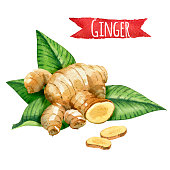 Ginger root with green leaves, watercolor illustration with clipping path