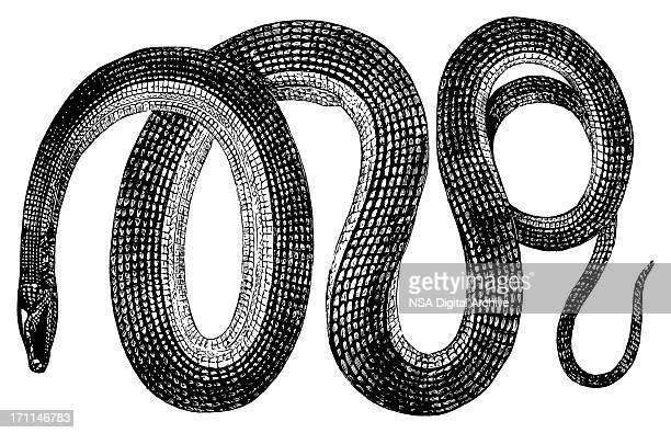 Glass snake | Antique Animal Illustrations