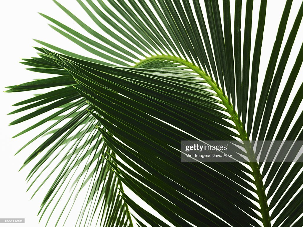 A glossy green palm leaf in close up, with central rib and paired fronds. : Stock Illustration