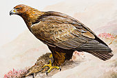 Golden eagle (Aquila chrysaetos), sitting on the ground, side view
