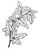 Graphic of branch Hedera nepalensis (Hedera helix) commonly called ivy. Black and white outline illustration, hand drawn work. Isolated on white background.