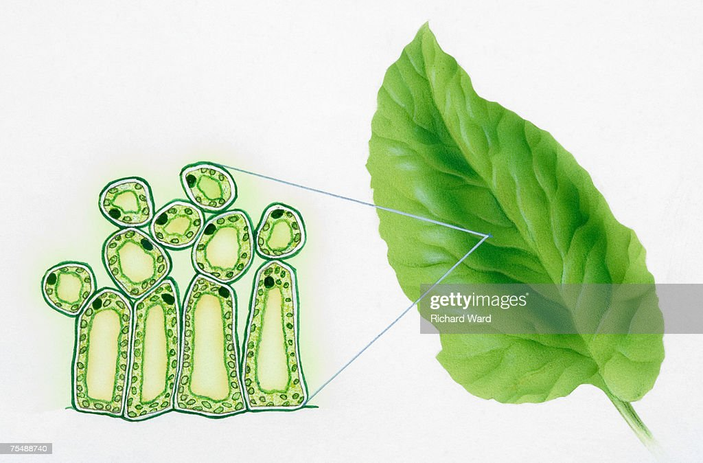 Green Leaf And Diagram Of Chloroplasts In Plant Cells