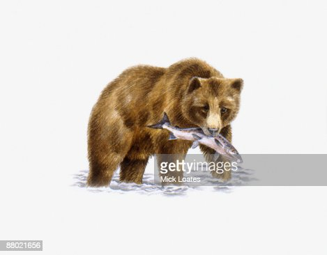 Grizzly Bear (Ursus arctos horribilis), walking in water carrying fish in mouth  : Stock-Illustration