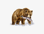Grizzly Bear (Ursus arctos horribilis), walking in water carrying fish in mouth