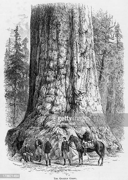 coast redwood stock illustrations and cartoons getty images