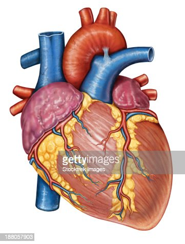three dimensional view of human heart stock illustration | getty, Human Body