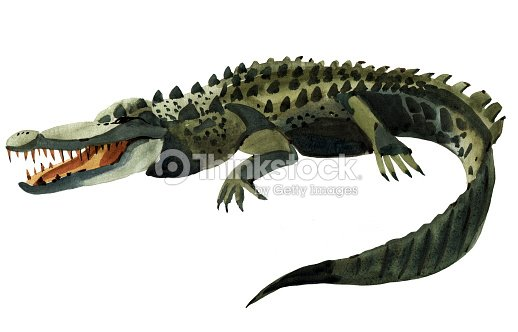 Travail la main aquarelle illustration de crocodile sur fond blanc illustration thinkstock for Peinture effet crocodile