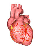 Healthy human heart isolated on white background, 3D illustration