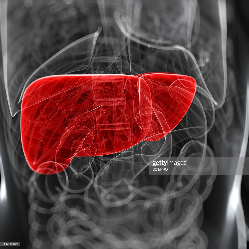 Healthy liver, artwork : Stock Illustration