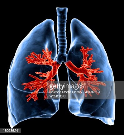 Healthy lungs, artwork : Stock Illustration