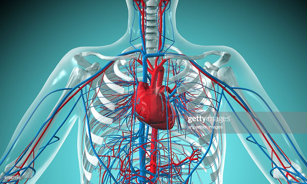 Heart and Circulatory System with Blood Vessels  : Stock Illustration
