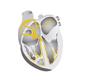 Heart conduction system vector illustration