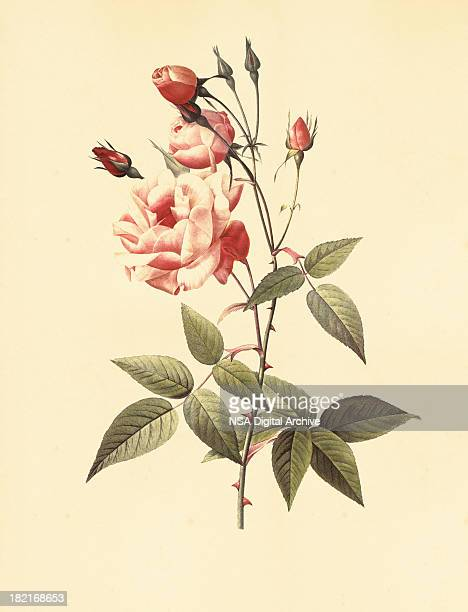 High Resolution Rose | Antique Flower Illustrations