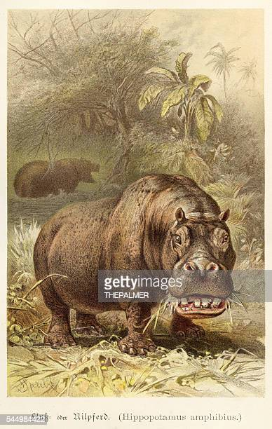 Hippopotamus illustration 1888