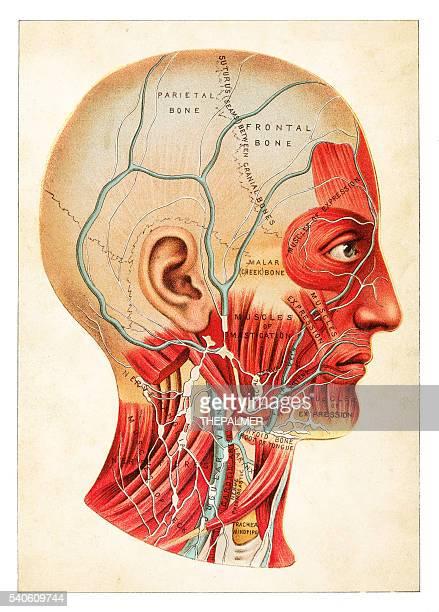 Human Anatomy illustration 1891