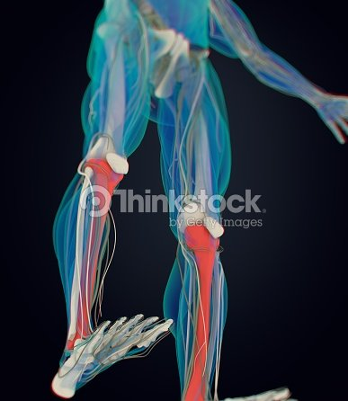Human Anatomy Male Tibia Shin Bone 3d Illustration Stock ...