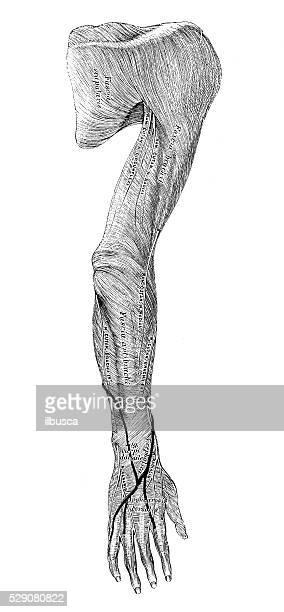Human anatomy scientific illustrations: arm muscles