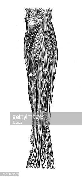 illustrations scientifiques de l'anatomie humaine : muscles avant-bras