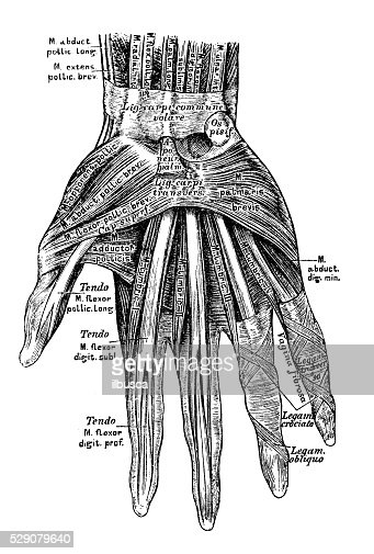 human anatomy scientific illustrations hand muscles stock, Muscles