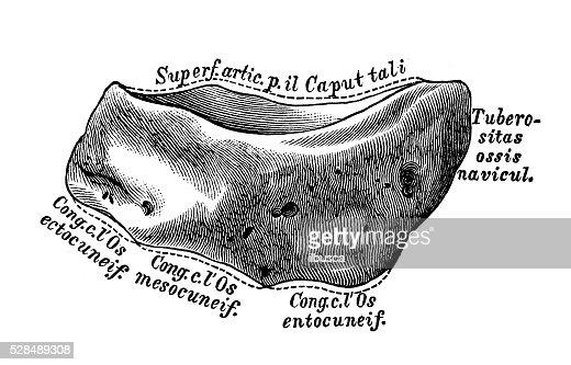 human anatomy scientific illustrations navicular bone stock, Human Body