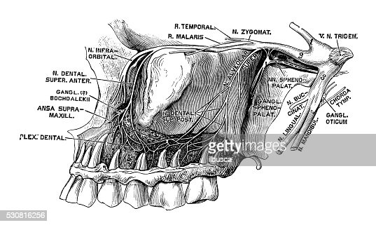 human anatomy scientific illustrations nervus trigeminus stock illustration