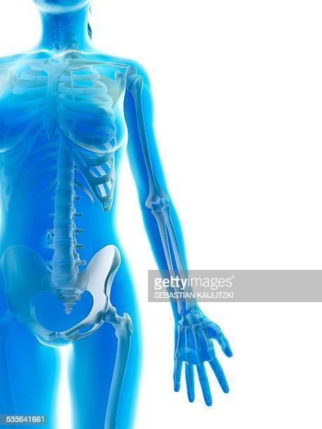 Human arm bones, illustration