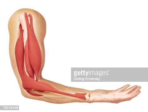 bent arm diagram human arm showing structure of muscles biceps contracted ... arm diagram skin