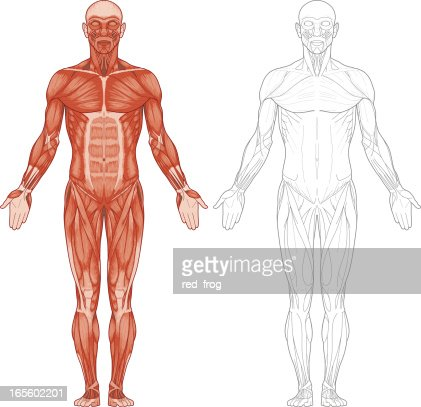 human body muscles vector art | getty images,