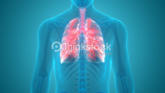 Human Body Organs Posterior View Stock Illustration Thinkstock