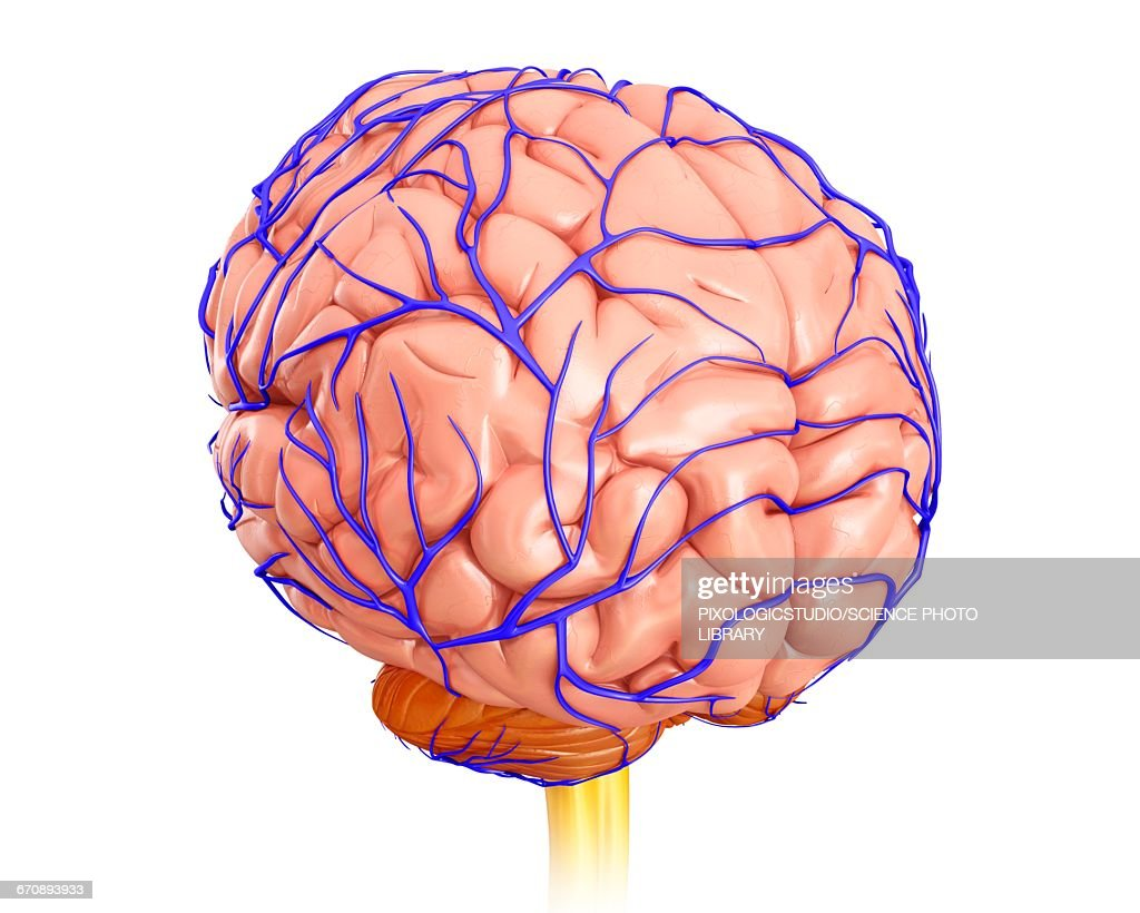 Human Brain Anatomy Illustration Stock Illustration | Getty Images