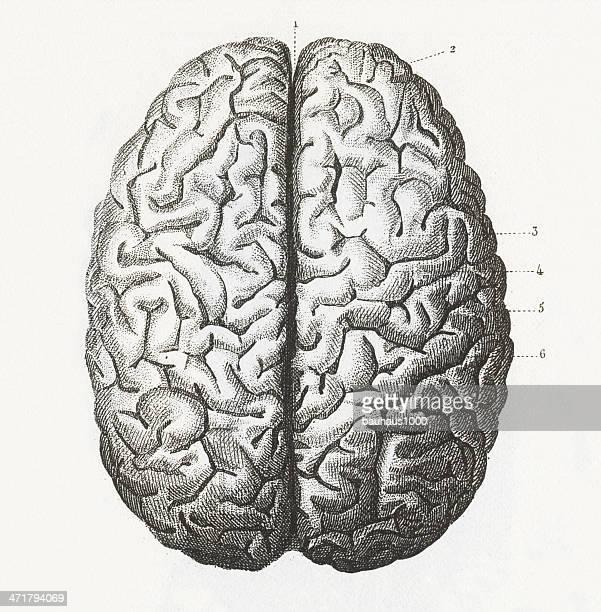 Cervello umano incisione