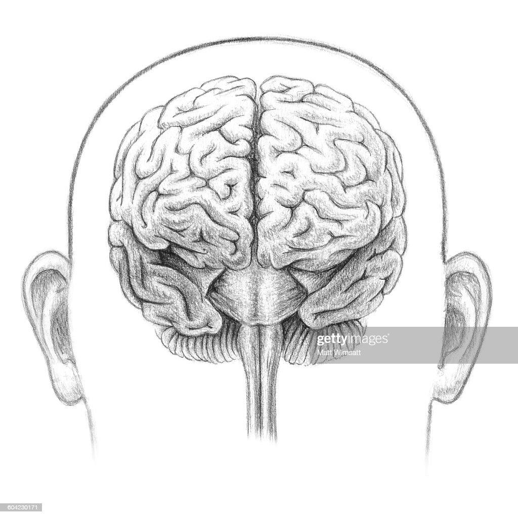 human brain frontal view stock illustration