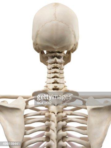 deep neck muscles artwork stock illustration | getty images, Skeleton