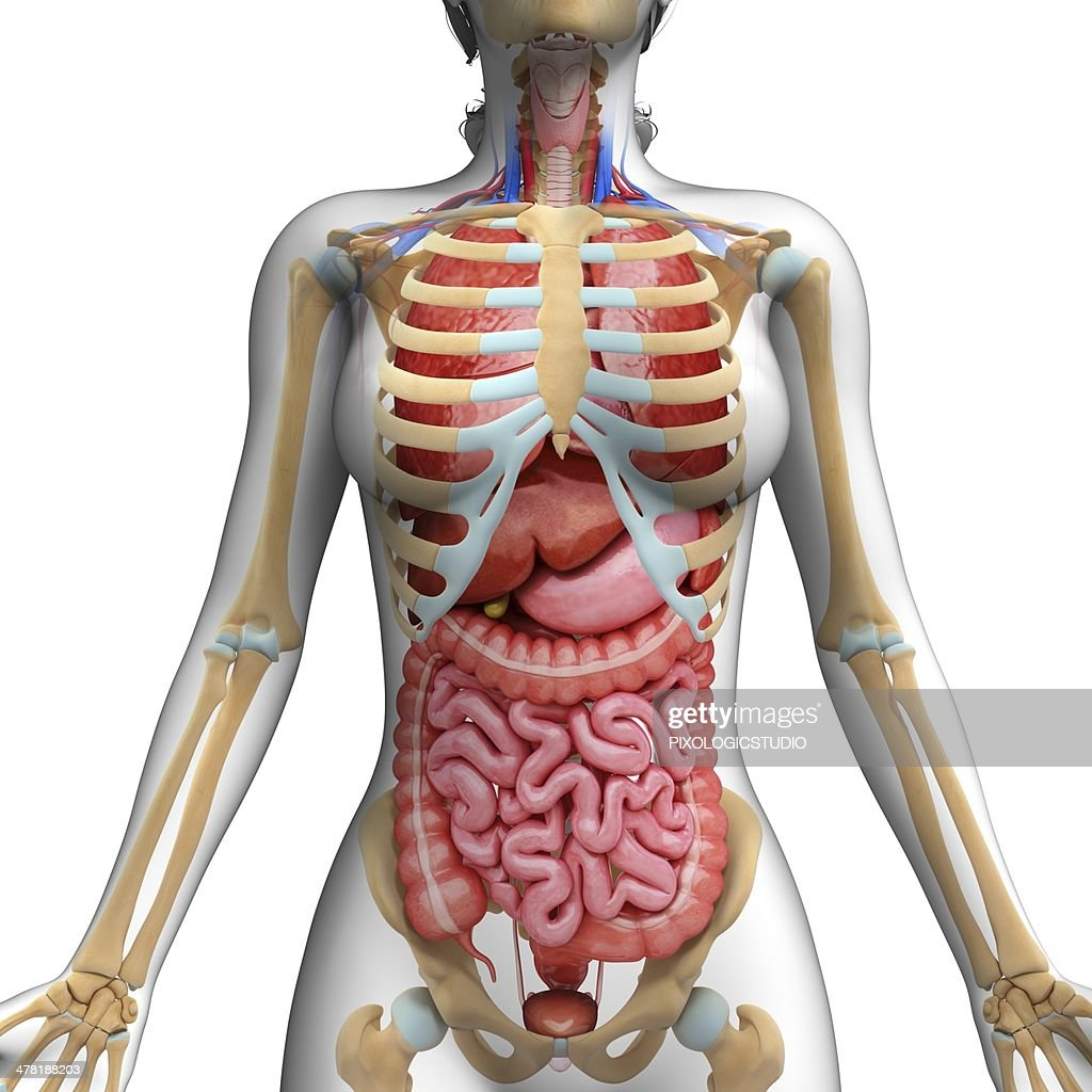 Human digestive system, artwork : Stockillustraties