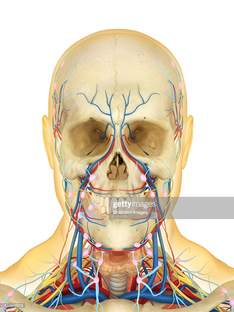 Lymph part of the circulatory system - Human Face And Neck Area With Nervous System Lymphatic System And Circulatory System