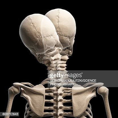 human skull and neck bones artwork stock illustration | getty images, Human body