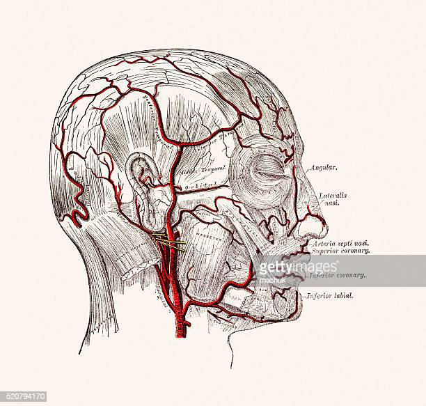 Human Head Blood Vessels Anatomy 19 century medical illustration